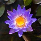 Lotus i trädgård Arkivbild