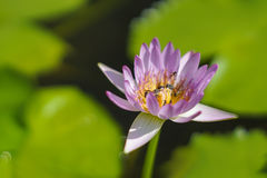 Lotus i trädgården Arkivfoton
