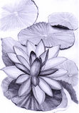 Lotus illustration, a pencil sketch Stock Photos