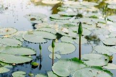 Lotus im Lotosteich an einem sonnigen Tag Lizenzfreie Stockbilder