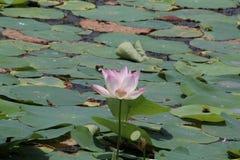 Lotus im Teich mit Rosa Stockfoto