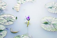 Lotus im Wasser Lizenzfreie Stockfotos