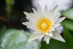 Lotus im Wasser Lizenzfreie Stockbilder