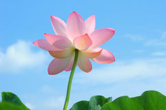 Lotus In Summer Royalty Free Stock Images