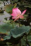 Lotus. Indian lotus pink of flower Stock Image