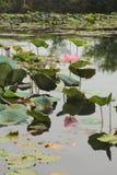 Lotus. Indian lotus of pink flower Stock Image
