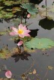 Lotus. Indianlotus pink of flower Stock Image