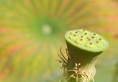 Lotus infructesence close-up stock photography