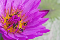 Lotus and insects. Stock Photos