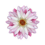 Lotus-Isolat auf weißem Hintergrund Stockfoto