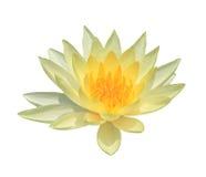Lotus isolat på den vita bakgrunden Arkivfoton
