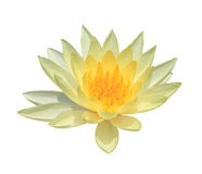 Lotus isolate on the white background Stock Photos