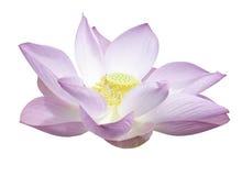 Lotus isolated Stock Image