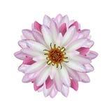 Lotus isoleert op witte achtergrond Stock Foto