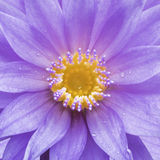 Lotus ist Seerose im Garten Lizenzfreie Stockfotografie