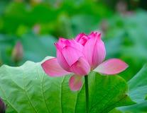 Lotus jak skrzydła Fotografia Royalty Free
