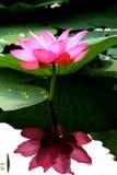 Lotus in Japan, een stuk van de bloem Stock Foto