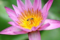 Lotus in Japanese Garden Stock Image
