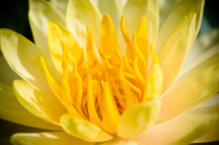 Lotus jaune Image libre de droits