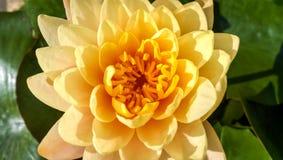 Lotus jaune Photos stock