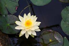 Lotus jaune Photographie stock