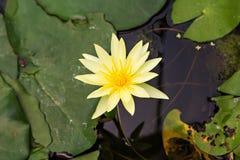 Lotus jaune dans l'étang Photos libres de droits