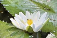 Lotus jest w stawie Zdjęcia Stock