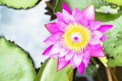 Lotus jest wodnym lelują w ogródzie Obraz Stock