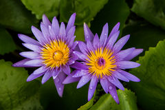 Lotus jumeau Photos stock