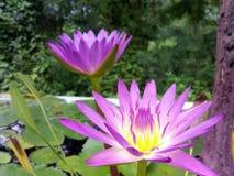 Lotus jumeau Photographie stock