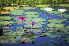 Lotus. In the jungles of lotus ponds Royalty Free Stock Photos