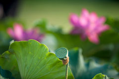 Lotus. Kaifeng Kaifeng summer lotus pond and more fragrant smell summer around the unstained lotus attracted a crowd of joyous spirit Stock Images