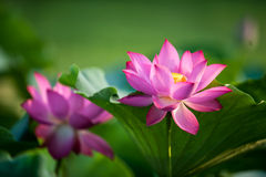 Lotus. Kaifeng Kaifeng summer lotus pond and more fragrant smell summer around the unstained lotus attracted a crowd of joyous spirit Royalty Free Stock Photography