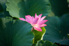 Lotus. Kaifeng Kaifeng summer lotus pond and more fragrant smell summer around the unstained lotus attracted a crowd of joyous spirit Royalty Free Stock Photo
