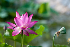 Lotus. Kaifeng Kaifeng summer lotus pond and more fragrant smell summer around the unstained lotus attracted a crowd of joyous spirit Stock Photo