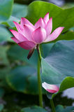 Lotus. Kaifeng Kaifeng summer lotus pond and more fragrant smell summer around the unstained lotus attracted a crowd of joyous spirit Royalty Free Stock Images