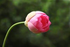 Lotus-knop Royalty-vrije Stock Afbeeldingen