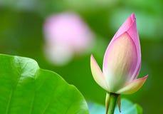 Lotus knopp i dammet Arkivbilder