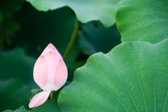 Lotus-Knospe im Teich Stockfoto