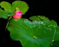 Lotus-Knospe, Wasser, das auf einem Lotosblatt läuft Stockfotografie