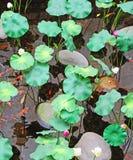 Lotus and koi Stock Images