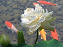 Lotus and koi fish.  Stock Photo