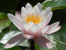 Lotus-kop op het meer Royalty-vrije Stock Afbeeldingen