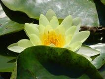 Lotus-kop op het meer, gele schoonheid Royalty-vrije Stock Fotografie