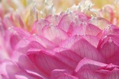 Lotus kronblad Fotografering för Bildbyråer