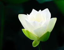 lotus kwiatów white Zdjęcia Royalty Free