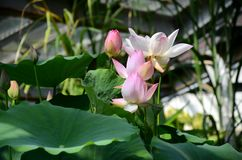 Lotus - kwiat harmonia obrazy royalty free