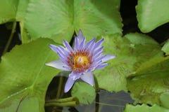Lotus kwiatu lotos Zdjęcie Royalty Free