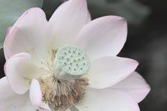 Lotus kwitnie lub wodna leluja kwitnie kwitnienie na stawie Fotografia Royalty Free