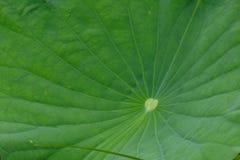 Lotus lämnar ljust - göra grön de stora sidorna av många fördelar royaltyfri foto